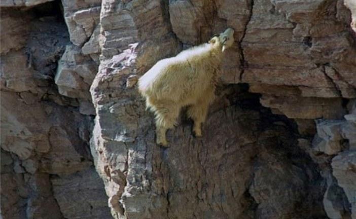 Горные козлы — мастера паркура (23 фото)