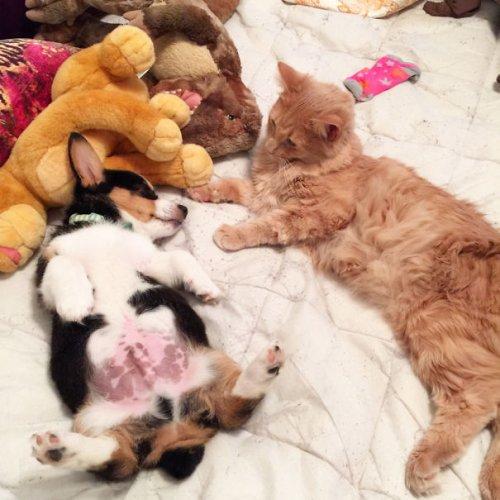 Очаровательные примеры дружбы кошек и собак. Часть 2 (29 фото)